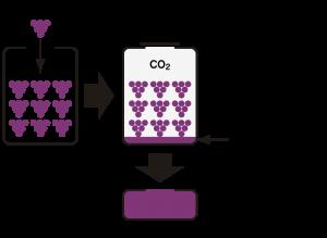 セミ・マセラシオン・カルボニックの模式図
