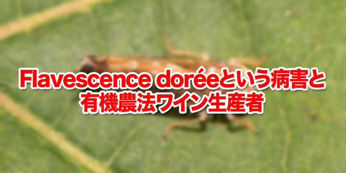 Flavescence doréeという病害と有機農法ワイン生産者
